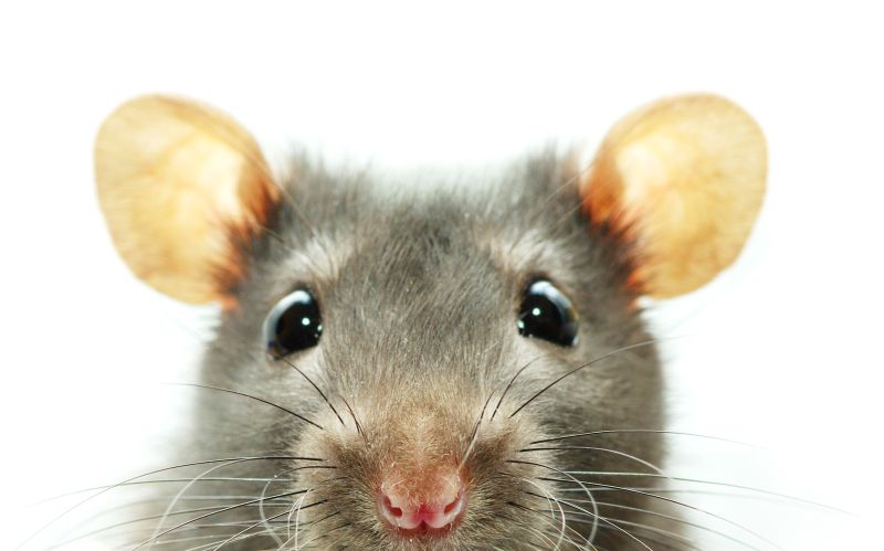 What Happens When a Rodent Dies in Your Ductwork?
